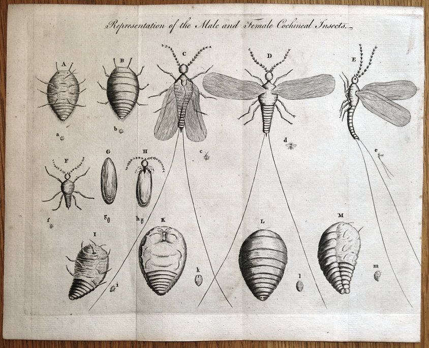 cochineal-insect.jpg